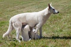 白瑞士护羊狗母亲 库存照片