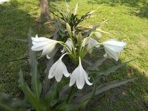 白百合在一个绿色公园 库存照片