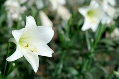 白百合在庭院背景中 对纯净的爱或爱的表示法在第一视域 库存图片