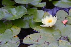 白百合在池塘 库存照片