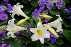 白百合花在庭院里 免版税库存照片
