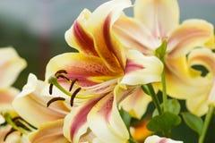 白百合花在庭院里 库存图片