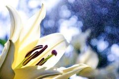 白百合花背景 库存照片