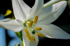 白百合,开花和非常美丽 库存照片