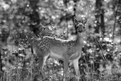 黑白的小鹿 库存照片
