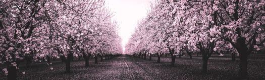 黑白的桃红色开花果树园 免版税库存图片