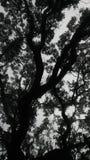 黑白的橡树 库存照片