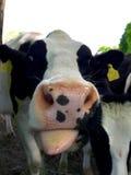 黑白的母牛的嘴 库存图片