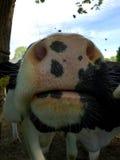 黑白的母牛的嘴 免版税库存图片