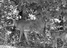 黑白的母鹿和的小鹿 免版税库存照片