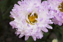 白的淡紫色菊花 库存图片