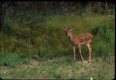 白的被盯梢的鹿小鹿 库存照片