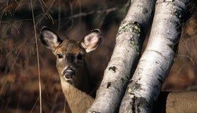 白的被盯梢的鹿-母鹿 免版税库存图片