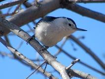 白的breasted五子雀特写镜头在树枝的 免版税库存照片