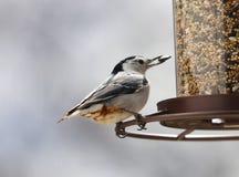 白的breasted吃从鸟种子饲养者的五子雀美丽的五颜六色的鸟种子在夏天期间在密执安 免版税库存照片