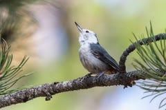 白的breasted Nutcatch在松树肢体栖息 库存照片