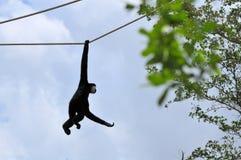 白的cheeked长臂猿, (Nomascus leucogenys) 免版税图库摄影