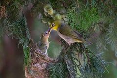 白眼睛鸟哺养 免版税库存照片