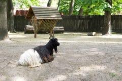 黑白石山羊 库存照片