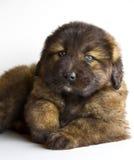 白种人大型猛犬小狗 免版税库存图片