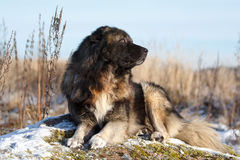 白种人牧羊犬 免版税库存照片