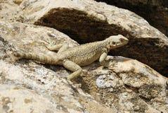 白种人蜥蜴Laudakia高加索 库存图片