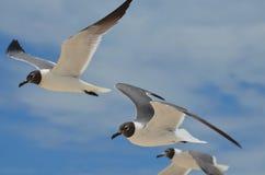 黑白笑的鸥三重奏在天空的 免版税库存图片