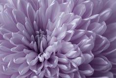 白紫罗兰色菊花花 宏指令 一个紫色菊花花特写镜头的背景 嫩花 免版税图库摄影