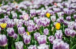 白紫色郁金香的领域与少量黄色花的,模糊的背景 免版税库存照片