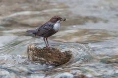 白红喉刺莺的浸染工用在一个岩石的食物在小河 免版税图库摄影