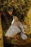 白红喉刺莺的浸染工, Cinclus cinclus,与白色喉头在河,瀑布在背景中,动物行为的棕色鸟 库存图片