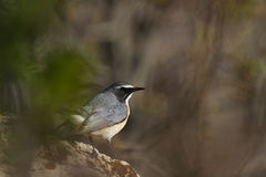 白红喉刺莺的罗宾 免版税库存图片