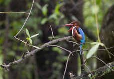白红喉刺莺的翠鸟太平smyrnensis 免版税图库摄影