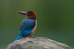 白红喉刺莺的翠鸟青少年 库存照片