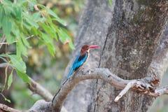 白红喉刺莺的翠鸟(太平smyrnensis) 图库摄影