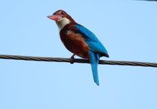 白红喉刺莺的翠鸟(太平smyrnensis) 免版税库存照片
