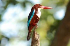 白红喉刺莺的翠鸟(太平smyrnensis) 库存照片
