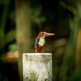 白红喉刺莺的翠鸟 库存图片