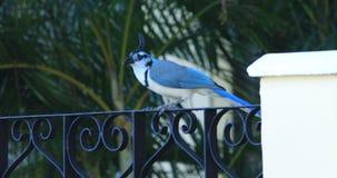 白红喉刺莺的鹊杰伊,从哥斯达黎加4K的Calocitta福摩萨, 股票视频