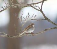 白红喉刺莺的麻雀在我的庭院里 库存图片