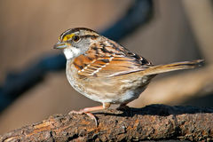 白红喉刺莺的麻雀 免版税图库摄影