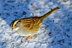 白红喉刺莺的麻雀 免版税库存图片