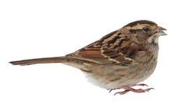 被隔绝的白红喉刺莺的麻雀 免版税图库摄影