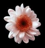 白红色花菊花 庭院花 黑色与裁减路线的被隔绝的背景 特写镜头 没有影子 库存照片