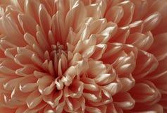 白红色菊花花 宏指令 一个红色菊花花特写镜头的背景 嫩花 免版税图库摄影
