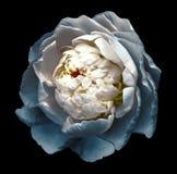 白绿松石开花的牡丹花的芽 在黑背景的被隔绝的花与没有阴影的裁减路线 为 免版税库存图片