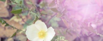 白罂粟在岩石增长的横幅 免版税库存图片
