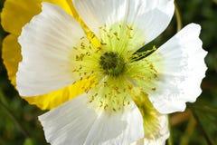 白罂粟芽 库存图片