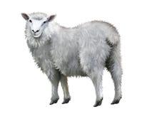 白羊。 免版税库存照片