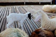 白羊与她的羊羔的展示喜爱 免版税库存照片